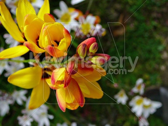 Yellow and red Ixia flowers Photo #4378