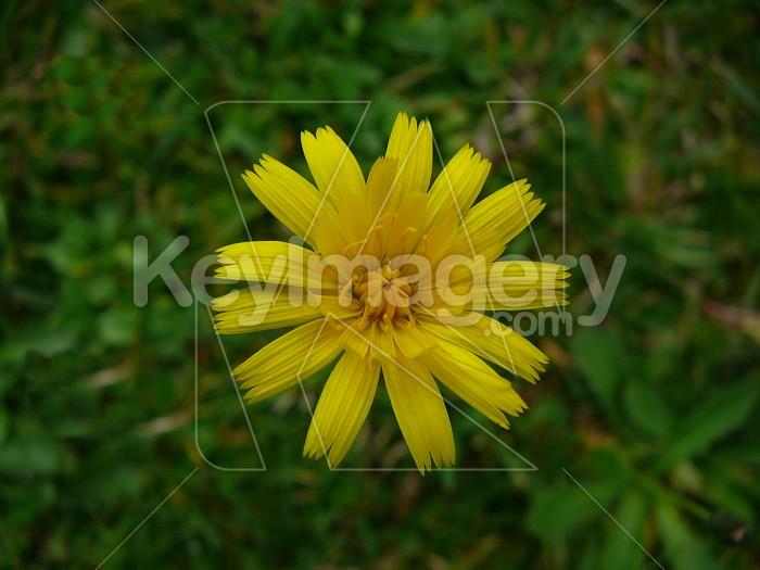 yellow dandelion Photo #1862