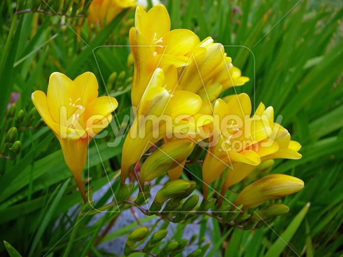 Yellow fresias Photo #4010