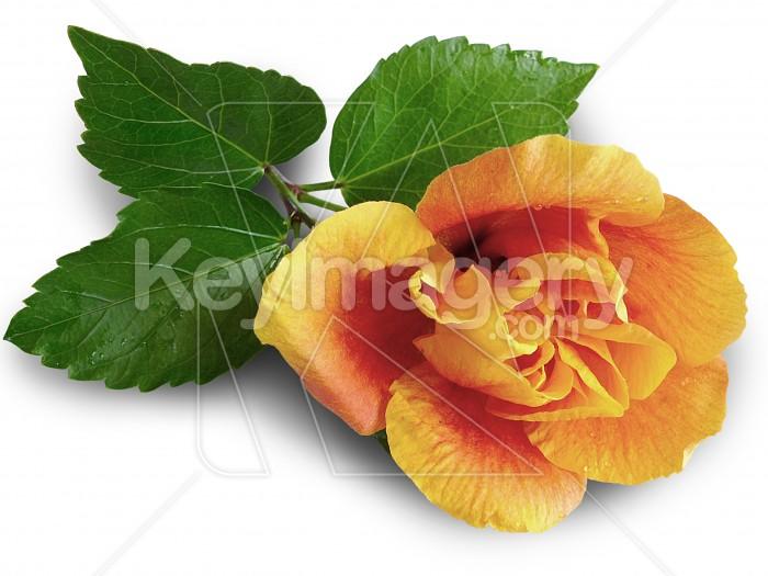 Yellow hibiscus bloom Photo #1663