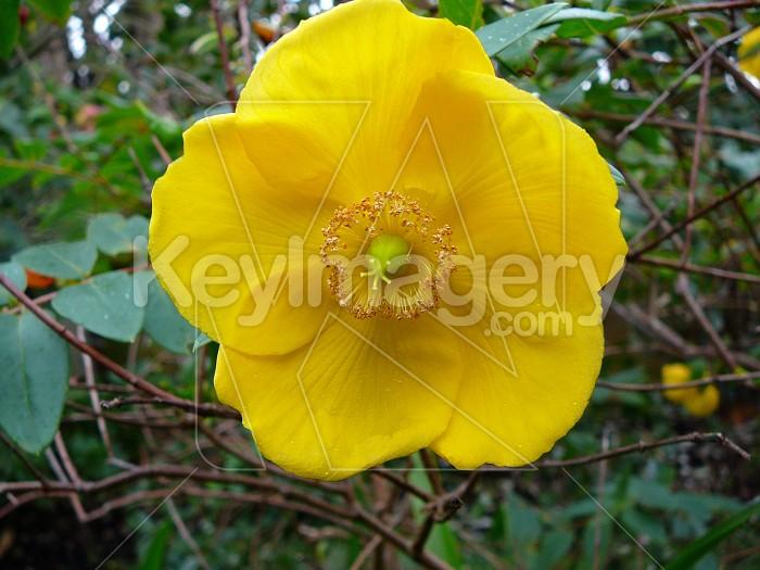 Yellow St Johns Wart Photo #4540