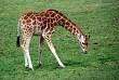 A giraffe grazing