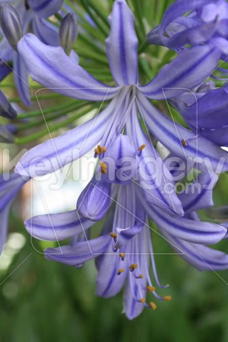 Agapanthus Flower Photo #831