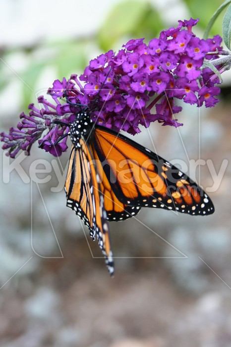 Monarch Butterfly on Flower Photo #856