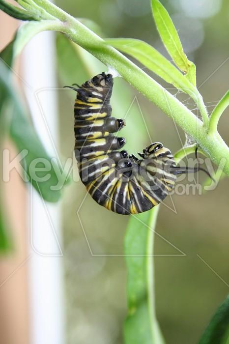 Monarch Caterpillar - Attached Photo #847