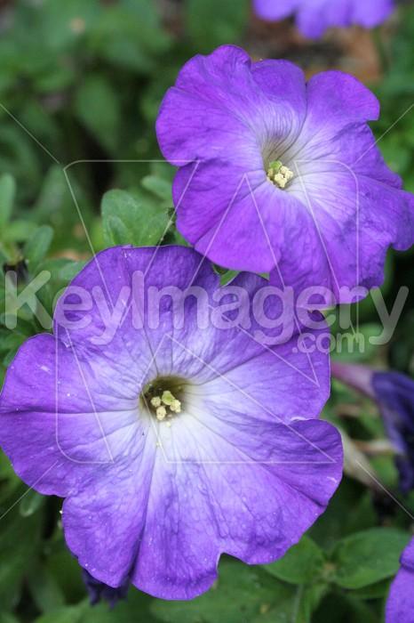Purple Flowers Photo #714