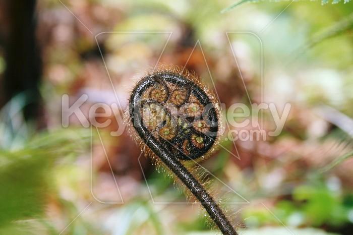 A fern unfolds Photo #1006