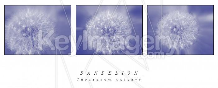 Dandelion Poster Photo #1824