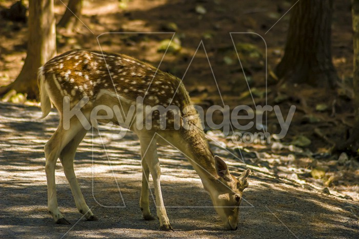 Deer Photo #54990