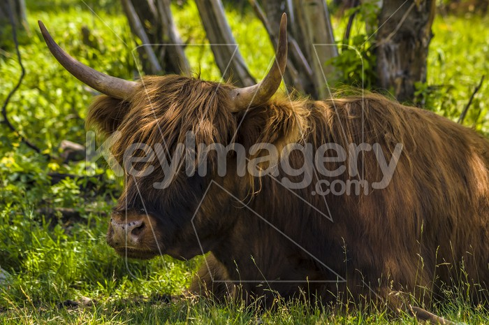 Highland Cattle Photo #54986