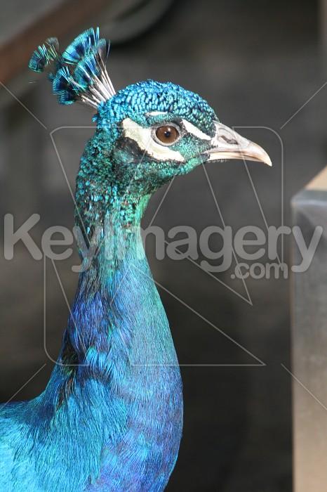 Peacock Photo #1410