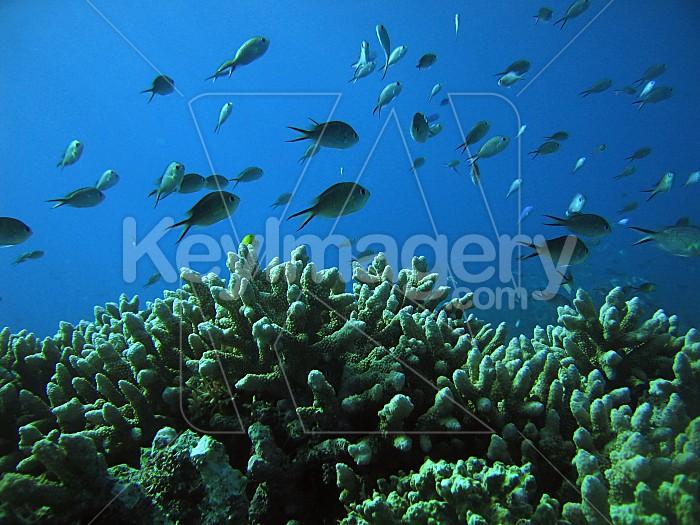 Australian Damsel Fish Photo #1564