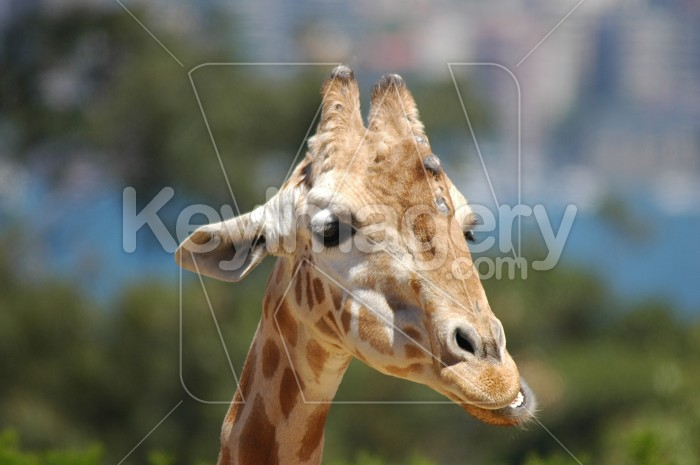 The Giraffe Photo #1838