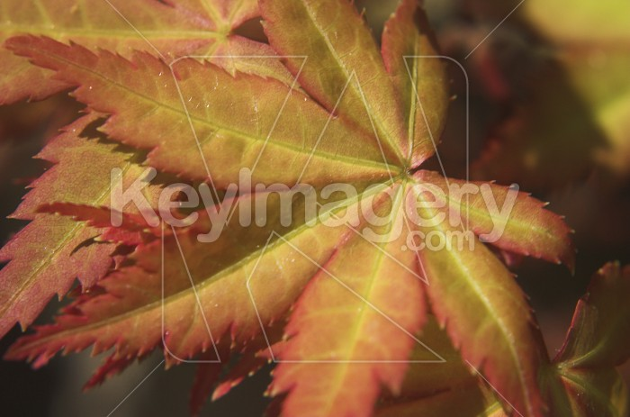 The Maple Leaf Photo #1815