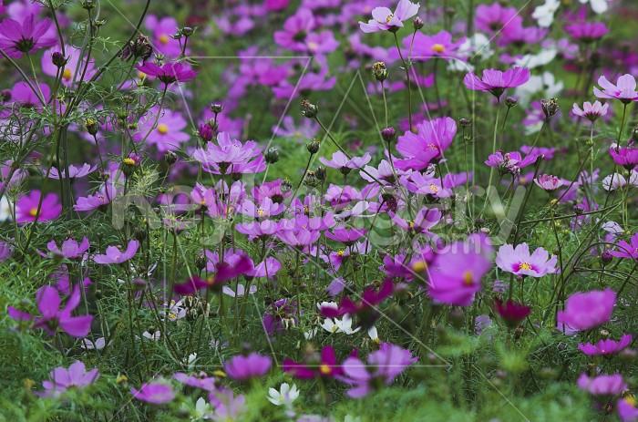 The Purple Daisies Photo #1817