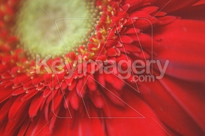 The Red Gerbera Photo #1830