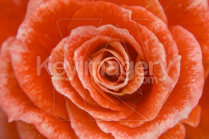 The Red Rose Photo #1820