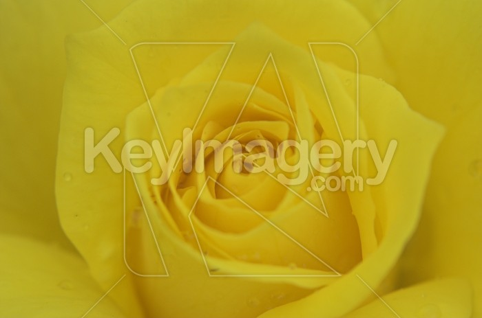 The Yellow Rose Photo #1819