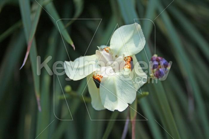 Fiji orchid 2 Photo #2428