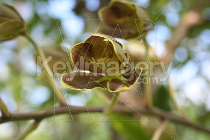 Leather orchid in Fiji Photo #2430
